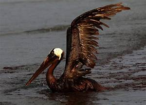 Animals Covered in Oil: Gulf Oil Spill Pictures ...
