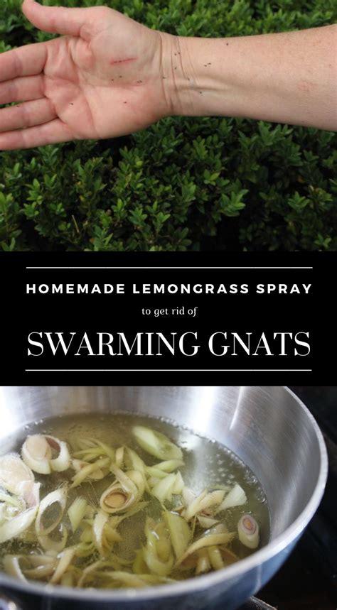 homemade lemongrass spray   rid  swarming gnats