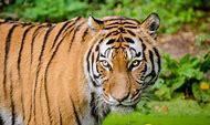 Siberian Tiger Animals