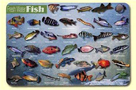 attuning freshwater fish  salmon  coryelle kramer