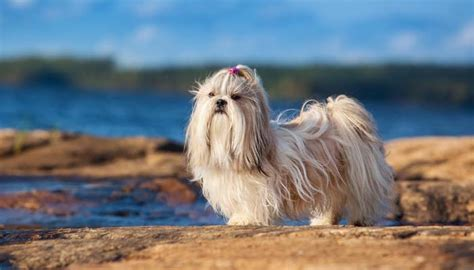 Shed Free Dogs Most Popular by Top 10 Dogs That Dont Shed Breeds Picture