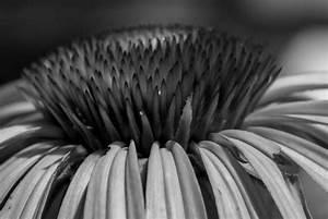 White And Black : black and white coneflower ~ Medecine-chirurgie-esthetiques.com Avis de Voitures