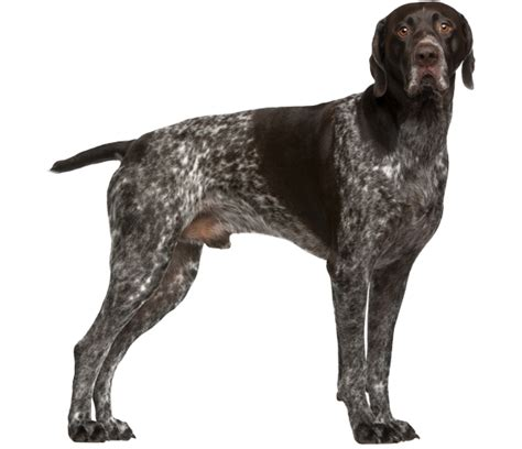 german shorthaired pointer shedding german shorthaired pointer breed health history