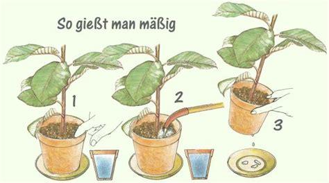 ficus benjamina  benjamini pflege pflanzenfreunde