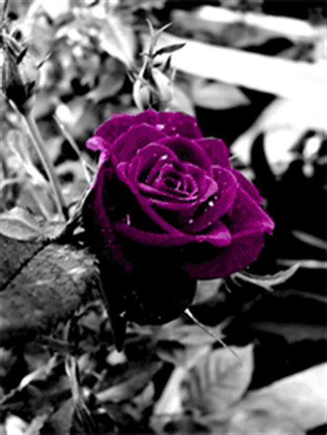 gifs animados de rosas moradas gifmania
