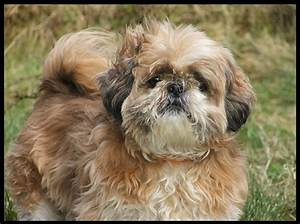 Shih Tzu puppy pictures and wallpapers | Nice Wallpapers ...