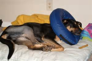 Dog Knee Surgery Recovery