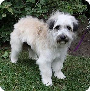 LORIN | Adopted Dog | Newport Beach, CA | Havanese/Terrier ...