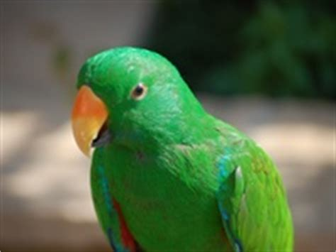 17 best images about eclectus the eclectic bird d on