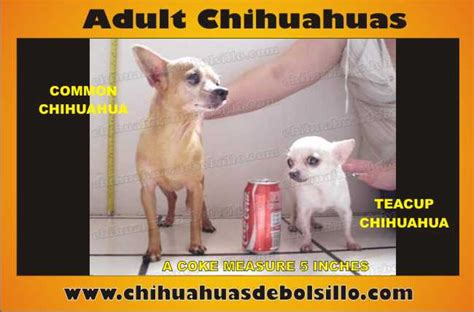 identifity teacup chihuahua dog