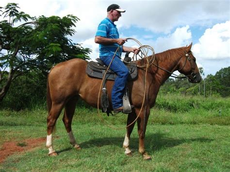 horse quarter chestnut gelding registered horsezone
