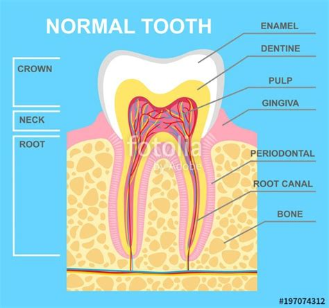 Tooth Bone Diagram by Quot Illustration Of Human Tooth Diagram Tooth Structure