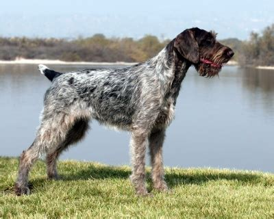 German Wirehaired Pointer Shedding by German Wirehaired Pointer Info Temperament Puppies Pictures