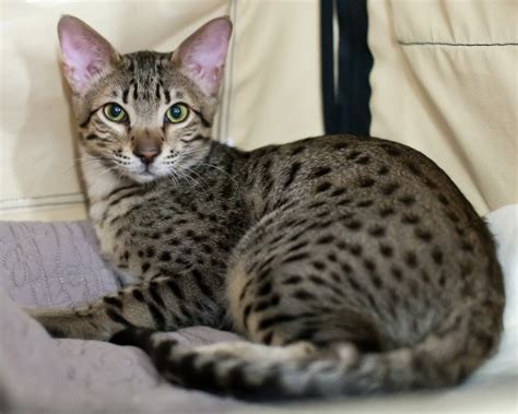 10 Most Expensive Cat Breeds In The World  Smashing Tops