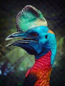 Cassowary - large flightless rainforest bird from north ...
