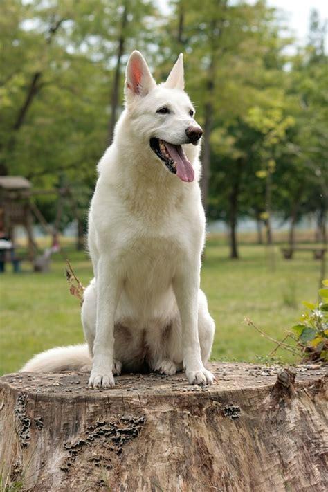 breed white swiss shepherd dog caw blog