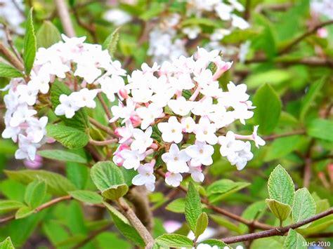 Viburnum Korean Spicebush