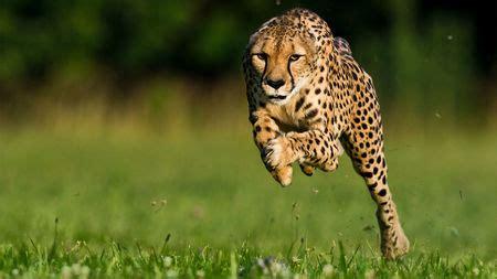 National Geographic Cheetah Running
