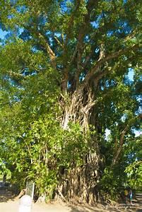 The Old Balete Tree in Maria Cristina, Aurora | Driftwood ...