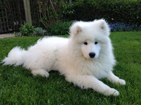 118 Best Images About Samoyeds On Pinterest Housekeeping
