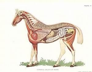 Horse Veterinary Print 1920s  U0026quot Internal Organs Of Horse