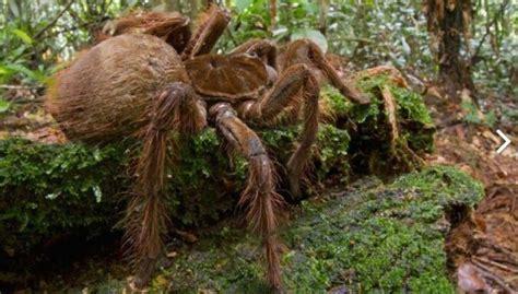 Amerikā atrod zirnekli prāva kucēna lielumā - DELFI