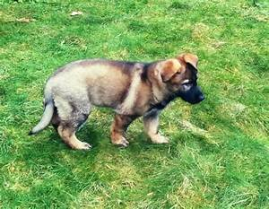 Gsd puppy growth charts german shepherd dog forums for Dog house for german shepherd size