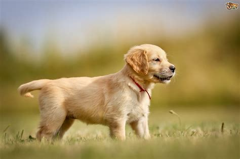 Golden Retriever Dog Breed Information Buying Advice