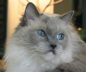 ragdoll cats for my top collection ragdoll cats pictures