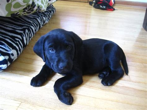 Black Labrador puppies are so darn cute. This is my girl ...
