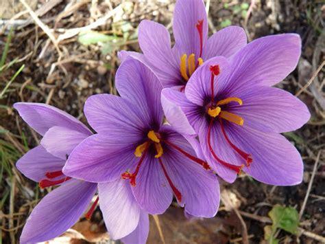 fiore di zafferano pianta di zafferano vendita il giardino della