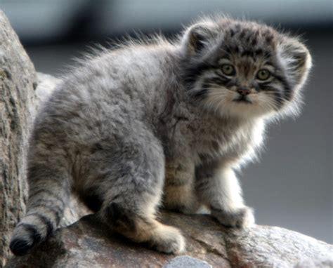 Uzoo Wildcats And Kittens A Beginners Guide Katzenworld
