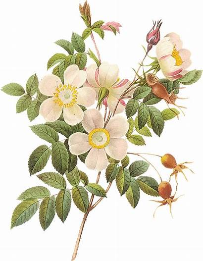 Flower Botanical Flowers Illustration Rose Garden Roses