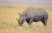 物種百科:黑犀牛 - 每日頭條