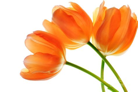 three orange tulip flowers 2 photograph by charline xia