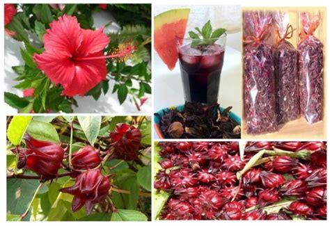 plante de cuisine jus de bissap