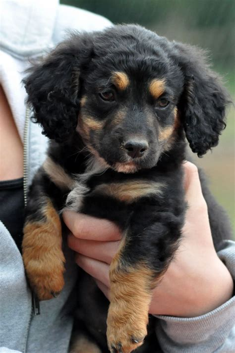 borderpoo cross cavapoo puppies  sale lydney