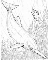 Dolphin Coloring Realistic Dolphins Drawing River Pink Animals Boto Colouring Drawings Printable Adult Fish Bottlenose Enjoy Animal Ganges Getdrawings Enjoycoloring sketch template