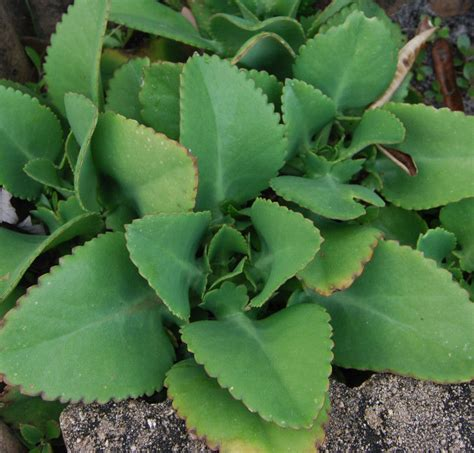 kalanchoe of thousands kalanchoe bryophyllum daigremontianum mother of thousands mexican hat plant ebay