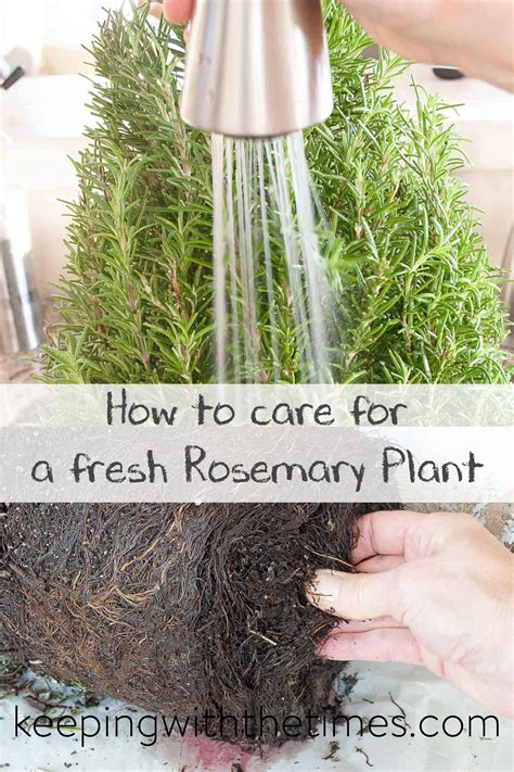 how to care for rosemary how to care for a fresh rosemary plant keeping with the times