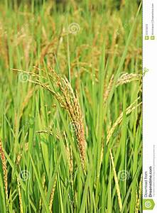 Brown Ears Of Rice On Top Of The Rice Trees Stock Image