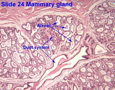 image result  human mammary gland histology labeled