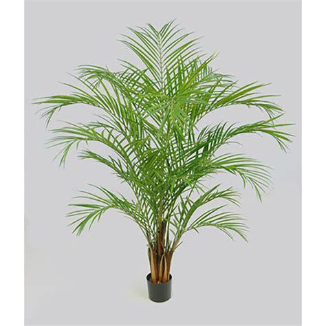 cocos palme pflege kokospalme pflege zimmerpflanze kokospalme cocos nucifera pflege als zimmerpflanze kokospalme