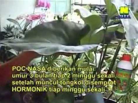 pupuk organik nasa  tanaman hias anggrek anthurium