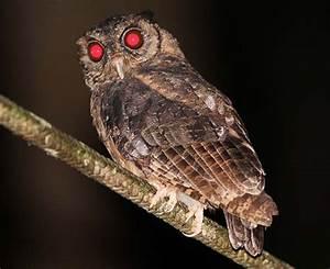 Screech Owl | Screech Owl Flying Images Screech-owl ...