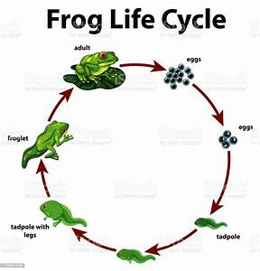 Diagram Showing Life Cycle Of Frog Stock Illustration