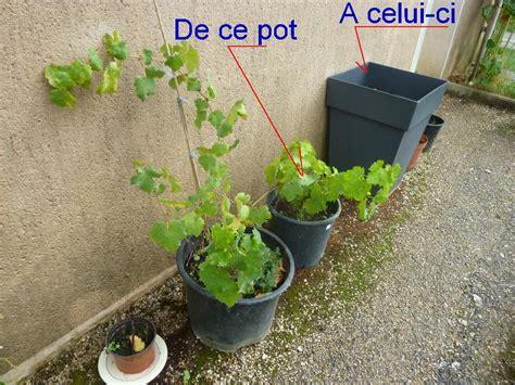 planter vigne en pot 28 images le cep de vigne acheter pied de vigne en pot acheter pied