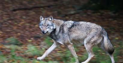 Wolf Hund Hybride Um Nicht Wildbahn Freier