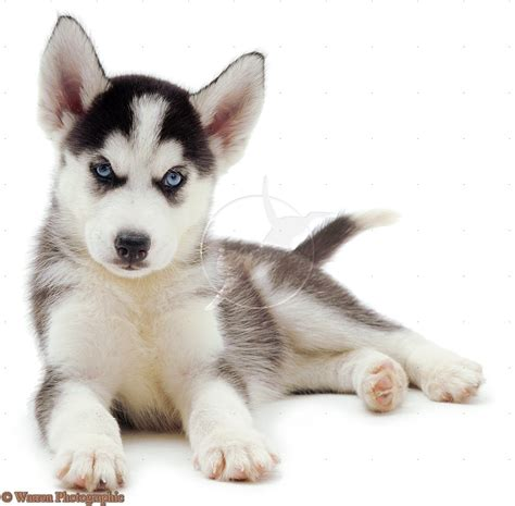 cute puppy dogs white siberian husky puppies