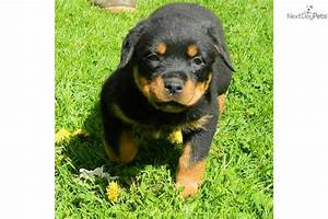 Pin Our-rottweiler-female-nora on Pinterest